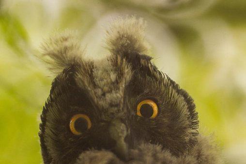 Любознательная сова